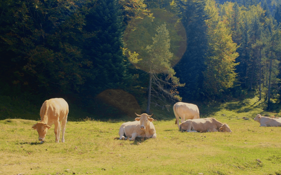 Cows in meadows, Hiking Cirque de Gavarnie in the French Pyrenees